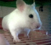Image of a Syrian hamster not related to this specific report