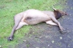 Elk illegally killed in Clatsop County Oregon
