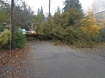 Tree across Lakefront Rd Lake Oswego Oregon
