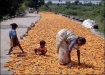 Maize farming in India