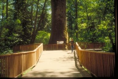 Worlds largest Sitka Spruce