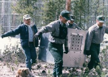 Roger Schlickeisen (left) reintroducing wolves in Yellowstone