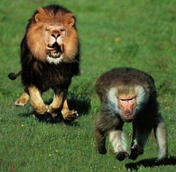 Baboon being chased by a lion