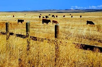 Cattle in Harney County, Oregon