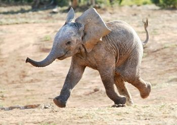 Elephant going mad
