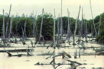 Remains of mangrove in Viet Nam