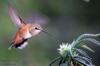 hummingbird cannabis