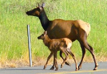 Doe and fawn crossing road