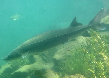 Stolen sturgeon from Bonneville Hatchery in Oregon